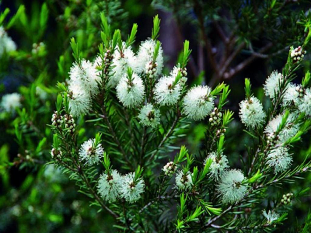Aceites esenciales: árbol de té, usos y propiedades.
